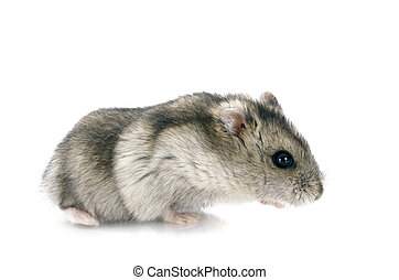 russian hamster in front of white background