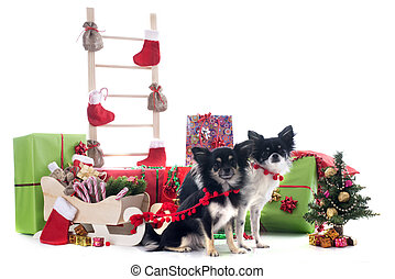 christmas chihuahuas in front of white background