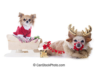 chihuahuas and sledge in front of white background