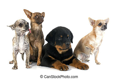 puppy rottweiler and chihuahuas - portrait of a puppy...