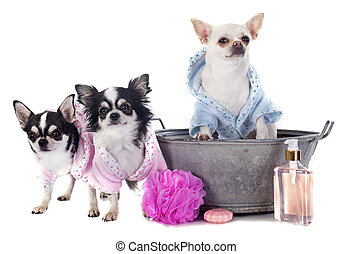 after the bath - purebred chihuahuas after the bath in front...