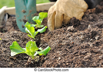 planting salad - close on the hands of a man planting...