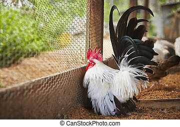 Rooster in the the farm - selective focus