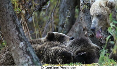 Grizzly bears, Kamchatka, Russia