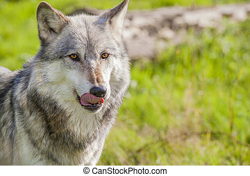 Male North American Gray Wolf, Canis Lupus, Licking His Lips...