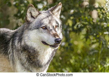 North American Gray Wolf, Canis Lupus
