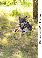 North American Gray Wolf, Canis Lupus, laying down in a...