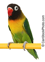 beautiful green parrot lovebird - a beautiful green parrot...