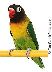 beautiful green parrot lovebird - a beautiful green parrot...