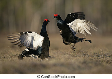 Black grouse, Tetrao tetrix, two males fighting at a lek,...