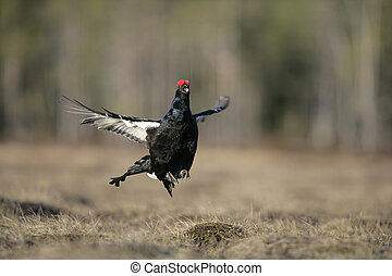 Black grouse, Tetrao tetrix, single male in Sweden