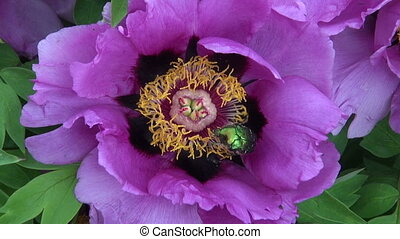 Rose chafer Cetonia aurata in beautiful summer peony blossom...