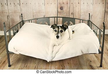 Dog in Dog Bed - Jack Russell terrier dog relaxing in luxury...