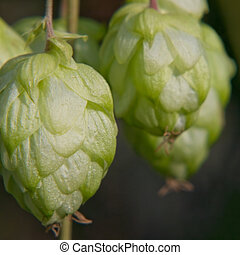 Ripe green hop cone.Beer production. - Ripe green hop cone...