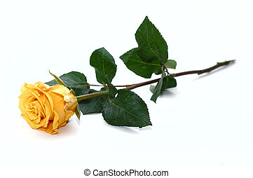 Yellow rose. Isolated on a white background