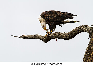 Eagle Eating Fish - Bald eagle tearing at fish flesh of prey...
