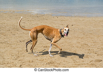 Spanish Galgo in bad condition with necklace walking near...