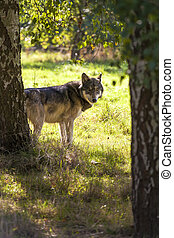 North American Gray Wolf, Canis Lupus looking through...