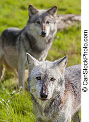 Pair of Two North American Gray Wolves, Canis Lupus - Pair...