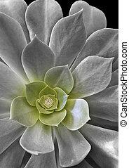 geometry - Aeonium virgineum Webb - succulent in tinted...