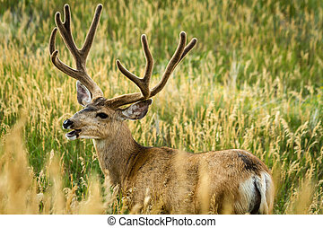 Mule Deer - Large mule deer buck grazing in tall grass with...