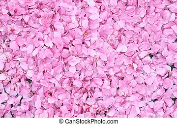 Cherry blossom background - Pink cherry petal background....