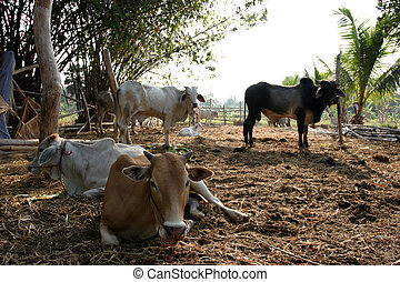 animal cow farm