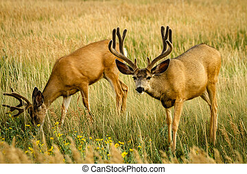 Mule Deer - 2 mule deer bucks grazing in tall grass with...