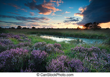 sunset over swamp with flowering pink heather,...