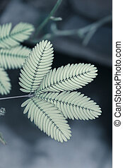 Sensitive plant, (Touch me not) Mimosa pudica, sesible plant