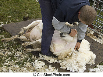 Sheep Shearing - Farm worker shearing sheep in pasture