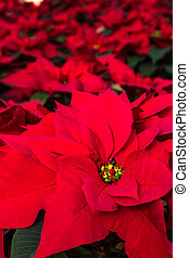 Poinsettias - Display of bright red Poinsettia plants