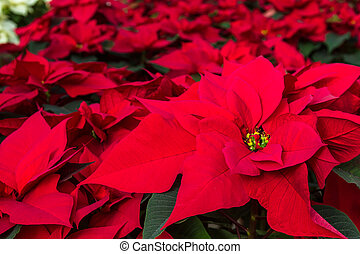 Poinsettias - Display of Poinsettia plants for sale