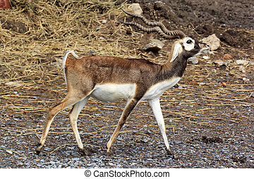 Black buckBlackbuck is a kind of beautiful antelope