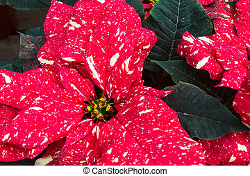 Poinsettias - Close up of red and white variegated...