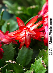 Christmas Cactus - Red and white Christmas cactus bloom