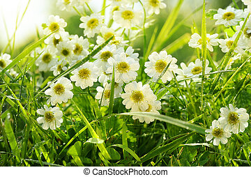 Closeup of daisies in field with hot summer sun