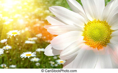 Large daisy in a sunlit field of flowers