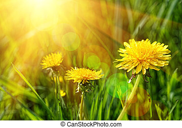 Big yellow dandelions in the tall grass