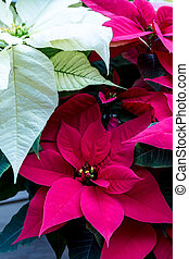 Poinsettias - Red and white Poinsettias plants sitting in...