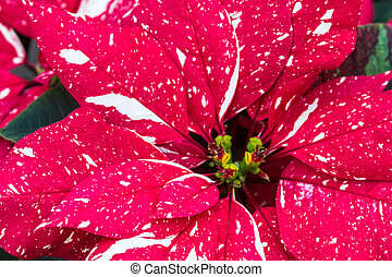 Poinsettias - Red and white variegated Poinsettias blossom