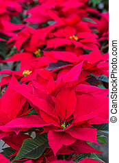 Poinsettias - Row of red Poinsettia plants on display