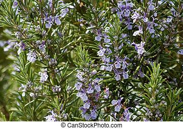 rosemary, herb, herbs, herbage, sweet herbs, medicinal herb,...
