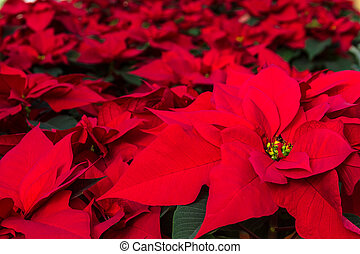 Poinsettias - Red Poinsettia plants for sale