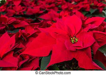 Poinsettias - Display of red Poinsettia plants