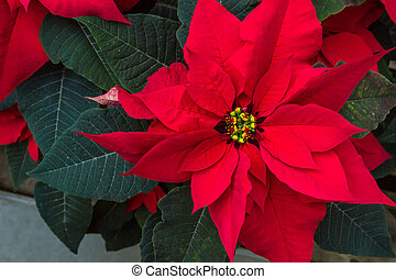 Poinsettias - Red Poinsettia bloom with green leaves