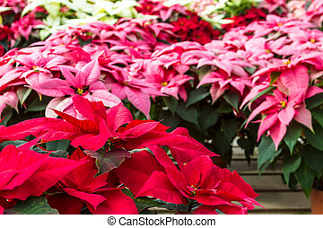 Poinsettias - Display of different colors of Poinsettia...