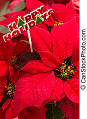 Poinsettias - Close up of red Poinsettia plants with sign