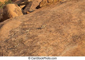 Klipspringer standing on rocks. - Several Klipspringer...