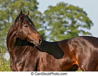 Stallion - horse